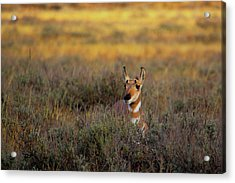 Acrylic Print featuring the photograph Sunset Pronghorn by Pete Federico