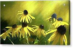 Sunshine On Black Eyed Susan Acrylic Print