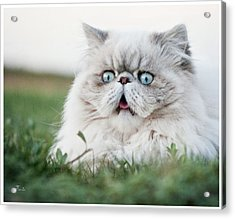 Surprised Cat Acrylic Print by Tavia