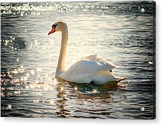 Swan On Golden Waters Acrylic Print