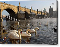 Swans And Charles Bridge Acrylic Print