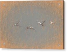 Swans Flying Leonardo Da Vinci Acrylic Print