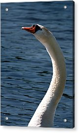Acrylic Print featuring the photograph Swan's Neck by Onyonet  Photo Studios