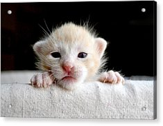 Sweet Newborn Orange Tabby Kitten Acrylic Print