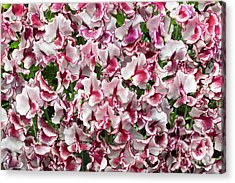 Acrylic Print featuring the photograph Sweet Pea Lisa Marie Flowers by Tim Gainey