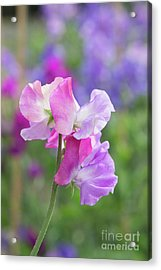 Acrylic Print featuring the photograph Sweet Pea Prima Ballerina Flower Portrait by Tim Gainey