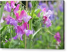 Acrylic Print featuring the photograph Sweet Pea Prima Ballerina Flowers by Tim Gainey