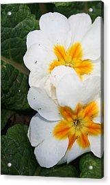 Sweet Primrose Acrylic Print