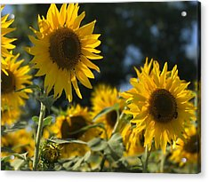 Sweet Sunflowers Acrylic Print