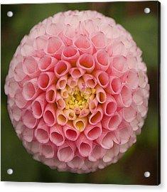 Symmetrical Dahlia Acrylic Print