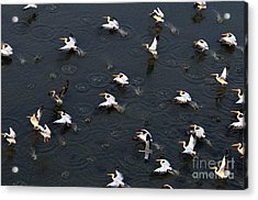 Synchronous Flight Of White Pelicans Acrylic Print