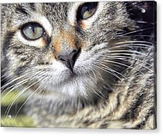 Tabby Kitten Acrylic Print by JAMART Photography