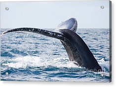Tail Of Whalewhale Show The Tail Above Acrylic Print by Kirill Dorofeev