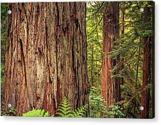 Tallest Living Things On Earth Acrylic Print