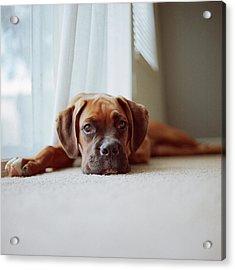 Tan Boxer Puppy Laying On Carpet Near Acrylic Print