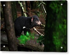 Acrylic Print featuring the photograph Tasmanian Devil Found During The Day In Tasmania. by Rob D