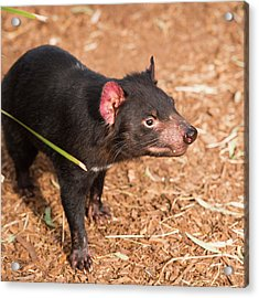 Acrylic Print featuring the photograph Tasmanian Devil In Hobart, Tasmania by Rob D
