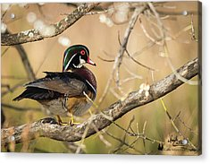 Texas Wood Duck Acrylic Print
