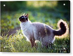 The Beautiful Brown Cat, Siamese, With Acrylic Print