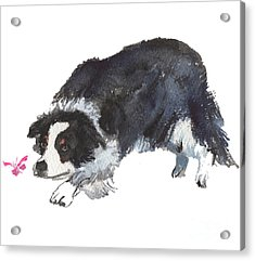 The Collie And Pink Butterfly Acrylic Print