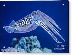 The Common European Cuttlefish Sepia Acrylic Print