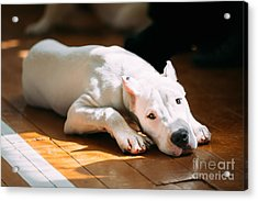 The Dogo Argentino Also Known As The Acrylic Print by Grisha Bruev