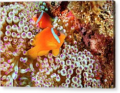 The Fiji Clownfish  Amphiprion Barberi Acrylic Print