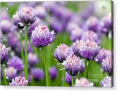 The Flower Of Garlic Photographed By A Acrylic Print