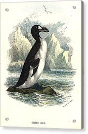 The Great Auk Acrylic Print by Hulton Archive
