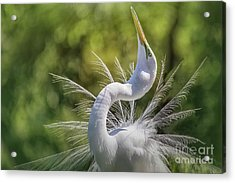 The Great White Egret Mating Dance Acrylic Print