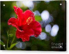 The Hibiscus Flower Close Up Acrylic Print