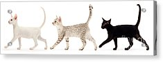Acrylic Print featuring the photograph The Kits Parade - Three by Warren Photographic