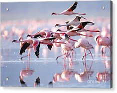 The Lesser Flamingo, Which Is The Main Acrylic Print