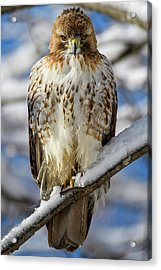 The Look, Red Tailed Hawk 1 Acrylic Print
