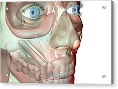 The Musculoskeleton Of The Face Acrylic Print by Medicalrf.com