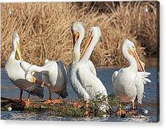 The Pelican Gang Acrylic Print