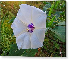 The Perfect Flower - Sacred Datura Acrylic Print