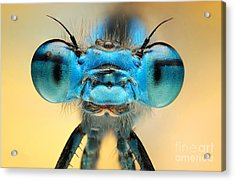 The Picture Shows A Beautiful  Damesfly Acrylic Print
