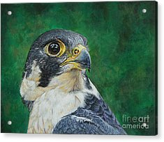 The Proud Peregrine....fastest Creature On The Planet Acrylic Print