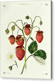 The Roseberry Strawberry, Engraved By Watte Acrylic Print