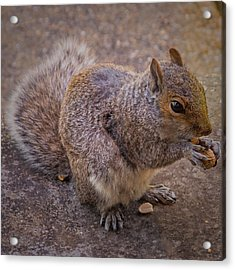 The Squirrel - Cornwall Acrylic Print