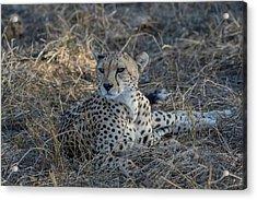Cheetah In Repose Acrylic Print