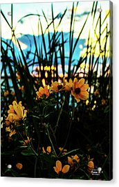 The Sunflower's Sunset Acrylic Print