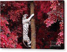 The White Tiger Acrylic Print