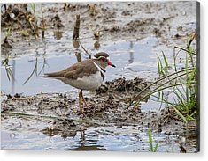 Three-banded Plover Acrylic Print