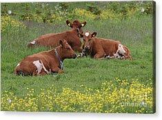 Acrylic Print featuring the photograph Three Cows by PJ Boylan