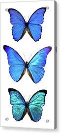 Three Morpho Butterflies Acrylic Print by Imv