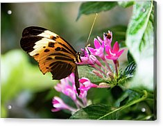 Tiger Longwing Butterfly Drinking Nectar  Acrylic Print