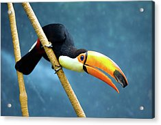 Toco Toucan Acrylic Print by By Ken Ilio