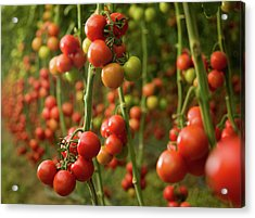 Tomatoes Growing In A Greenhouse Acrylic Print by Ozgurdonmaz